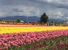 Skagit County in tulip season.