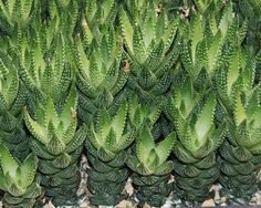 Succulents Haworthia reinwardtii  Their color changes to reddish in summer. They have small white flowers tha grow on stalks in Spring through to Autumn. Do not overwater especially in summer when they are dormant. Allow them to dry out between waterings