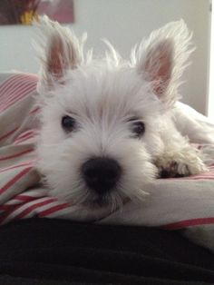 Westie puppy!!! Look at this face, Westie's are really the cutest dogs ever!