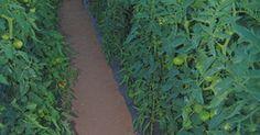 Como aumentar a produção em uma estufa. Os supermercados vendem produtos frescos durante o inverno normalmente crescidos em uma estufa e não amadurecidos nas plantas, os quais não têm o mesmo gosto daqueles colhidos de seu jardim durante o verão, mas não é preciso sofrer por causa disso. Você pode cultivar legumes, como tomate, pimentão verde, feijão verde, pepino, cenoura, batata e ...