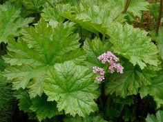 DARMERA peltatum - Skjoldblad, farve: rosa, lysforhold: sol/halvskygge, højde: 80 cm, blomstring: april -maj.
