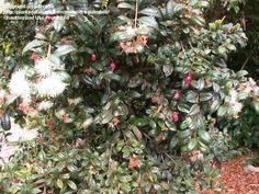 Australian Brush Cherry, Scrub Cherry, Syzygium australe. 6m