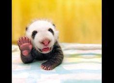 Baby panda waving