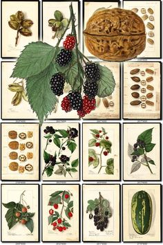 FRUITS VEGETABLES-30 Collection of 100 vintage images nuts rubus pecan watermelon pictures High resolution digital download printable by ArtVintage1800s on Etsy