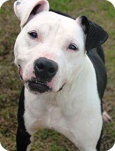 New Orleans, LA - Pit Bull Terrier Mix. Meet Bam Bam, a dog for adoption. http://www.adoptapet.com/pet/12232633-new-orleans-louisiana-pit-bull-terrier-mix