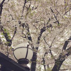 2015年 桜