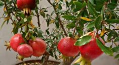 Step by Step Procedure for Growing Pomegranate Plant from Seed Indoors Pomegranate Tree Care, Granada, Grow Banana Tree, How To Grow Bananas, Growing Gardens, Potted Trees, Plant Care, Fruit Trees, Indoor Plants