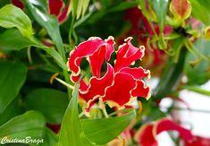 A Gloriosa rothschildiana e uma herbácea escandente, pertence à família…