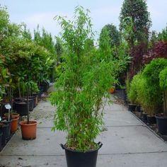 Niet woekerende Bamboe (Fargesia murieliae 'Super Jumbo') 125-150
