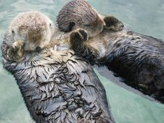 Mother & baby sea otters hold hands to keep from floating away from each other while sleeping. They'll also wrap themselves up in kelp which grows from the ocean floor to anchor themselves while sleeping, especially in rough waters.