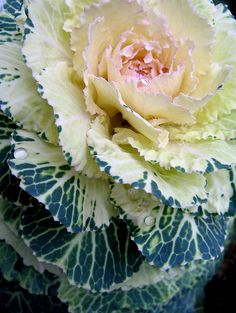 flowering cabbage or ornamental Kale, these beauties really extend the show in your beds well into winter. Ornamental Cabbage, Ornamental Plants, Unusual Plants, Cool Plants, Flowering Kale, Fall Flower Arrangements, Table Arrangements, Autumn Garden, Edible Garden