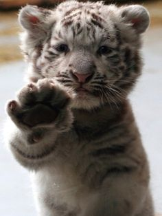 I love you....awww just want to hug it...I remember one time there was a  baby snow leopard like the baby tiger at the zoo at had its paw at the window& just as I was about to take a pic my bat died on my camera