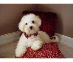 Beautiful Bichon Frise