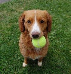Rhys, a terribly cute Nova Scotia Duck Tolling Retriever.  She likes tennis balls.