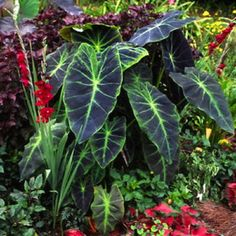 These elephant ear plants are huge and their dark highlights are stunning. Beautiful against the red/pink.