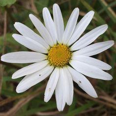 The last daisy on the hill