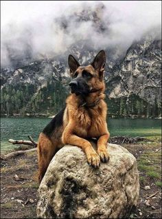 crescentmoon animalia Magnificent Beasts, German Shepherd Dogs, German Shepherds, Funny Cats, Manhattan, Sunday, Board, Color, Drawings Of Dogs
