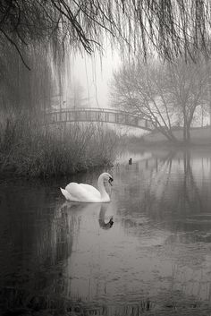 Silence Beautiful Swan                                                       …