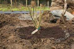 How To Plant Bare-Root Roses - For Tons of Blooms, Wedding Design, and General Happiness — B-Side Farm Regrow Vegetables, Growing Vegetables, Rooting Roses, Rose Queen, Rose Care, Soil Layers, Planting Roses, Blooming Rose