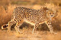 National Geographic, Asiatic Cheetah, Chinese Giant Salamander, Iran Football, Football Team, Fallow Deer, Tier Fotos, Endangered Species, Big Cats