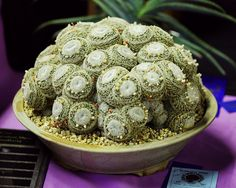 Mammillaria microthele - Flickr - Photo Sharing!