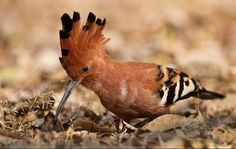 The African Hoopoe (Hoephoep) can be observed at Likweti Estate as they favour open, bushy areas. They make their homes in tree holes or other cavities. Photo by Willem Verschuur. Beautiful Birds, Animals Beautiful, Beautiful People, Days Of Creation, Out Of Africa, All Birds, Sea Monsters, African Culture, Bird Species