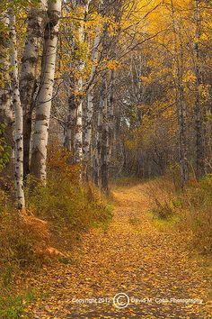 aspens, Methow Valley, WA | David Cobb