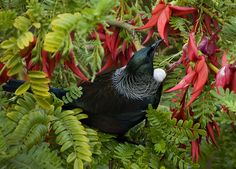 NZ Tui and red flowered Kakabeak. Artist by Nature: Art and Photography by Mandy Hague, Whakatane. Wanaka New Zealand, Queenstown New Zealand, Auckland New Zealand, Maori Tattoos, Key Tattoos, Skull Tattoos, Foot Tattoos, Sleeve Tattoos, New Zealand Tours