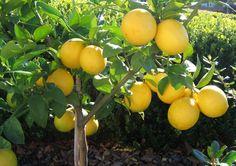 """Лимон """"Мейер"""" - Саженцы экзотических растений - купить в Одессе, Украине по цене…"""