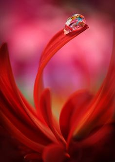 ~~Color, reflection, light ... and my heart! | red flower and water drop macro | by Marilena Fattore~~