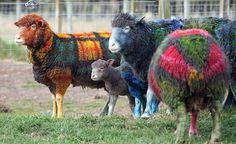 Tartan Sheep - Ewe won't believe your eyes (No it's not an April Fool)