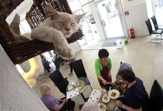 Cat 'Luca' sleeps in his basket as a waitress serves food to customers in Vienna's first cat cafe.After 3 years of negotiations with city officials over hygiene issues,Austria opened its first cat cafe last Friday.Cafe Neko- Neko meaning cat in Japanese,was opened by Vienna resident Takako Ishimitsu,47 from Japan. Customers can stroke and interact with their five feline hosts,Sonja,Thomas, Moritz, Luca , who all came from an animal shelter and now freely roam about the cafe and take naps.