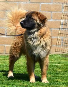 06/14/14 still listed ~~  Mello is an adoptable German Shepherd Dog, Retriever Dog in Downey, CA Mello IS AVAILALBE (updated daily)  To meet any of our dogs you must first complete the online ... ...Read more about me on @Petfinder.com.com.com.com.com.com
