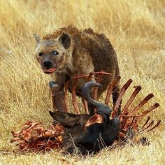 A cockeyed hyena Fast Nature Deals. Animals Of The World, Animals And Pets, Animal Action, African Wild Dog, Disney Animated Movies, African Tribes, Wild Creatures, Wild Dogs, African Animals