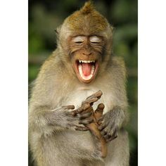macaque monkey appears to be laughing as it tickles its own feet