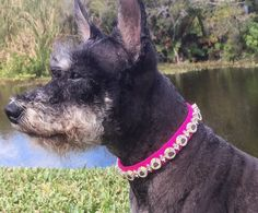 Birthday Dog Collar, Birthday Pet Collar, Pink Dog Collar Birthday, Pet Collar for Birthday, Girl Bi Pink Dog Collars, Leather Dog Collars, Big Dogs, Small Dogs, Colorful Birthday, Pet Accessories, Poodle, Dachshund, Fur Babies