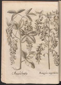 Hortus Eystettensis (…). Lentil tree.  Rar 5967 GF.