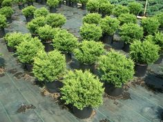 Juniperus chinensis 'Old Gold':  Deer Resistant  'Old Gold' juniper is a compact, spreading, evergreen shrub.  It is noted for its bronze-gold foliage which retains good color throughout winter.    Hickory Hollow Nursery
