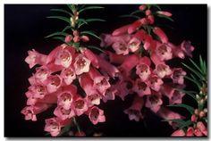 common heath - Google Search Australian Flowers, Google Search, Plants, Plant, Planets