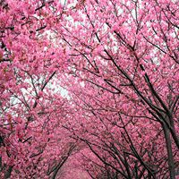 The Cherry Blossom Tree is a fast growing variety that is the perfect addition to your yard and has many unique qualities. Nature Hills Nursery offers a price match guarantee on our beautiful Autumn Cherry Blossom Trees, order now and save up to Flowering Cherry Tree, Cherry Blooms, Cherry Blossom Painting, Cherry Blossom Tree, Blossom Trees, Purple Shrubs, Kwanzan Cherry, Flower Pot Design, Invasive Plants