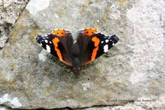 RED ADMIRAL by GeaAusten.deviantart.com on @DeviantArt