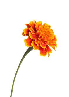 Jackson's birth flower - marigolds