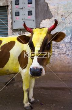 painted cow - A cow brown and white with yellow powerder on it, takes a second to look at the camera in Mysore, India.
