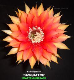 Echinopsis hybrid 'Sasquatch'