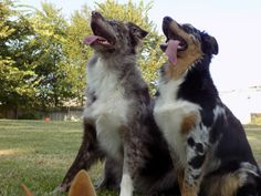 Australian Shepherd. Sisters 19 months apart. 1st and 2nd litter from same mom. Red and Blue.