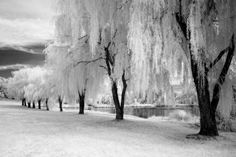 I love weeping willow trees.. What a beautiful picture.