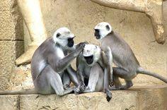 Vihreä Apinoilla, Apina, Vanhan Maailman Häntäapinat