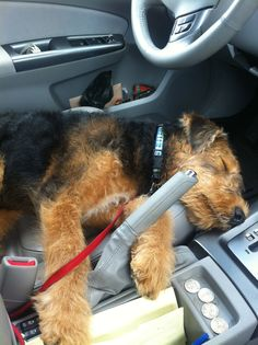 Airedale Terrier Nipper is too tired to drive