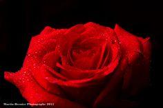 Red Rose  http://www.martinbernier.com