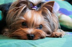 Yorkshire terrier by Artyom Dyakiv, via 500px